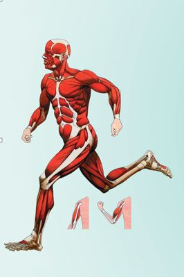 Biology textbook image showing a the musculature under the skin of a person in running motion.