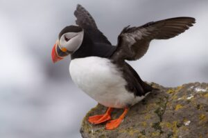 Black and white Puffin with orange feet and bill, taking a rest on a rock.