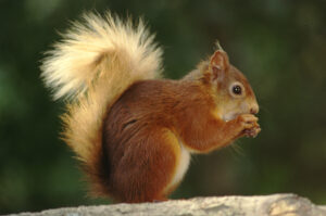 Red squirrel with golden furry tail eating a nut.