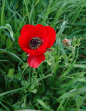 Close up of phototgraph of a bright red poppy amongst some long grass.