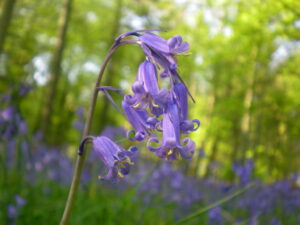 Close up picture of a Bluebell flower in a woodland.