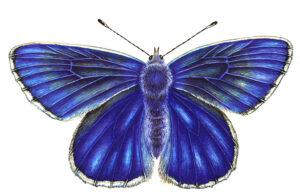 Illustration of a blue butterfly from above, wings outstretched.