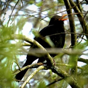 Close up photograph of a Blackbird singing in the branches of a tree.