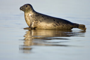 Photograph of a grey seal wallowing in the shallow waters of the sea.