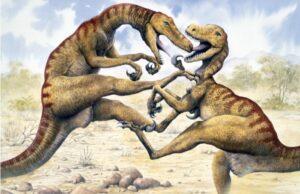 Two Utahraptors fighting in a desert.