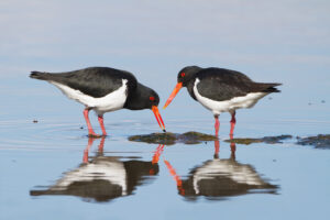 Two black and white Oystercatchers dipping their long red bills into the water below.