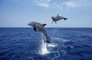 Two Bottlenose dolphins leaping out of the sea.